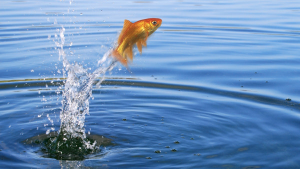 goldfish-jumping-picture-id92234795